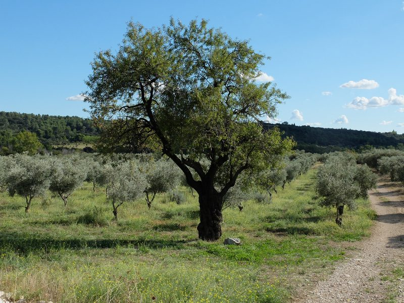 olive trees and almond trees