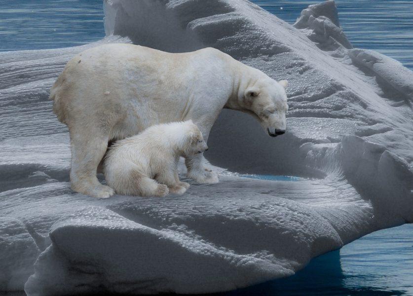 ours polaire et petit